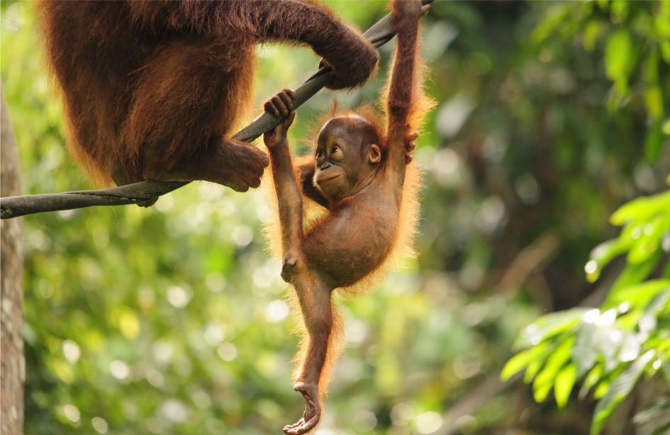 Saving orangutans in sumatras disappearing rain forests nat geo live